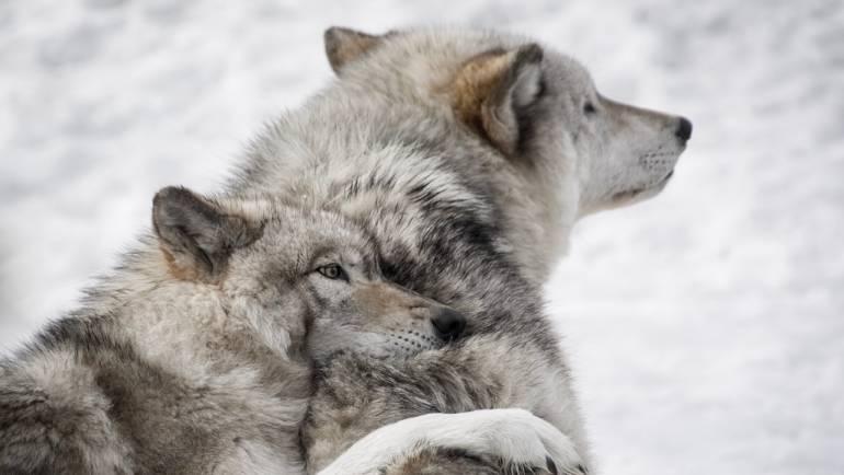 Quale è il lupo che vuoi nutrire?